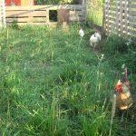 Hühnerlauf